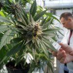 Marihuana nie obniża IQ