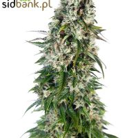 Big Bud Auto® (Sensi Seeds)
