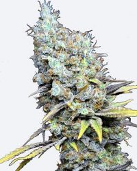 CBD Big Bud Super Skunk