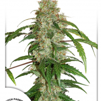 CBD White Widow® Auto