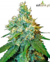 Jack Herer® Sensi Seeds
