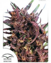 Purple 1# Niefeminizowane