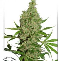 White Widow Dutch Passion Niefeminizowane