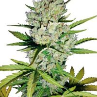Super Skunk Automatic (White Label)