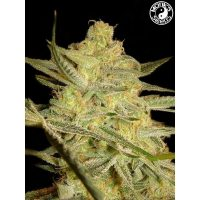 Kalashnikov Auto Monks Seeds