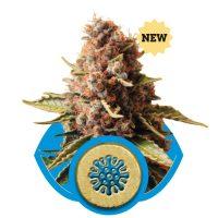 Euphoria CBD (Royal Queen Seeds)