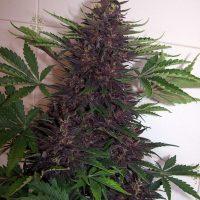 Budda Purple Kush Auto