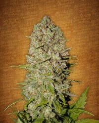Pineapple Express Auto Fast Buds