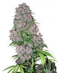 Purple Bud White Label