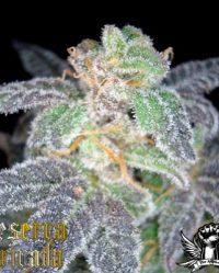 Purple OG 18#