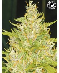 Weeping Widow Auto Monks Seeds