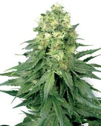 White Widow Niefeminizowane (White Label)