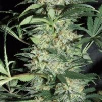 Silver Haze Amaranta Seeds