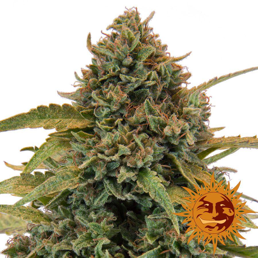 Nasiona marihuany - Bad