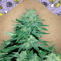 White Widow X Big Bud Auto Female Seeds