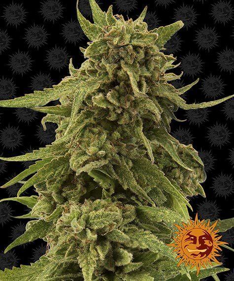 Najnowsze nasiona marihuany