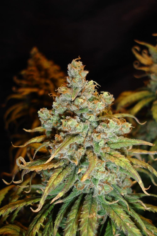 Nasiona marihuany El Patron