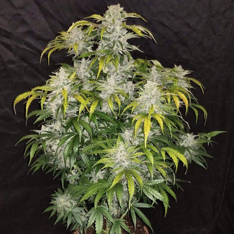 Nasiona marihuany CBD Auto