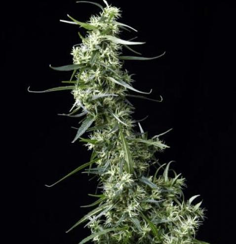 Nasiona marihuany NL5