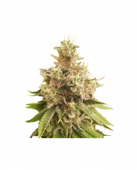 Golden Apple Haze Niefeminizowane