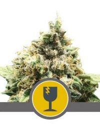Critical (Royal Queen Seeds) Niefeminizowane