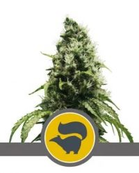 Skunk XL Niefeminizowane (Royal Queen Seeds)