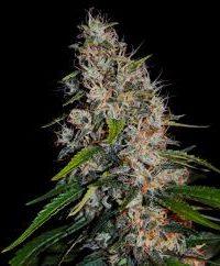 Zestaw High-THC Collection