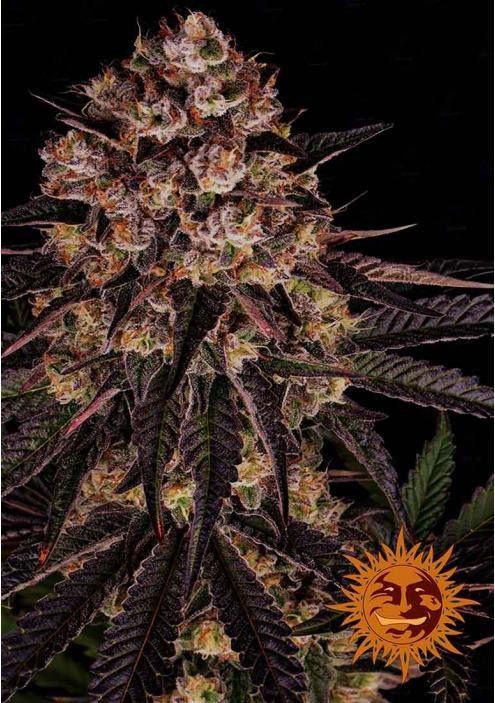 Nasiona marihuany Biscotti Mintz od Barney's Farm
